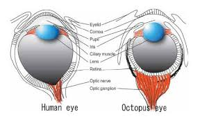 The Anatomy And Physiology Of The Eye Cephalove The Octopus Visual System