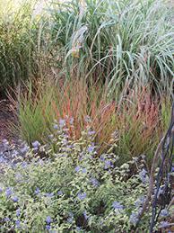 field grown ornamental grasses kansas ornamental grasses for sale