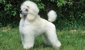 pictures of a american eskimo dog poodle breed information
