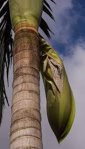 free photo palm tree seeds seed pod fruit free image on