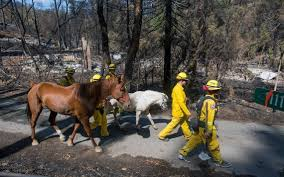 Wildfires California September 2015 by Butte Valley Fire Victims Search For Animals Left Lost During
