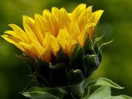 single sun flower wallpapers free desktop background wallpapers most beautiful sunflower