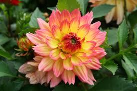 dahlias flowers flowers dahlias 2580x1720