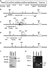an essential role of maspin in embryogenesis and tumor suppression