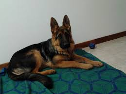 australian shepherd 7 mesi pedigree database