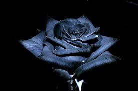 black roses black roses wallpaper wallpapers browse