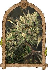 Exotic Colors by Exotic Colours Feminized Seed Buy Marijuana Seeds