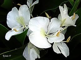 butterfly hedychium coronarium flowers