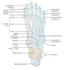 Anatomy Of The Human Body Bones The 25 Best Foot Anatomy Ideas On Pinterest Anatomy Anatomy