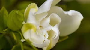 what is gardenia and its characteristics youtube