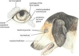Dog Anatomy Book Nasolacrimal And Lacrimal Apparatus Ophthalmology Merck