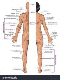 Human Anatomy Torso Diagram Anatomy Of Human Body Parts Human Anatomy Organs Diagram