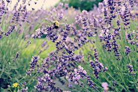 Flowers That Keep Mosquitoes Away 5 Pest Repelling Plants Every Gardener Needs Ohio Country Life