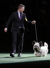 affenpinscher won westminster ocala u0027s charlie wins 2nd at westminster dog show news ocala