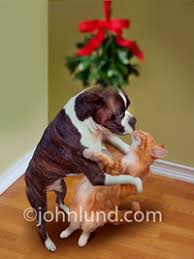 boxer dog xmas stock photography funny pictures animal pictures