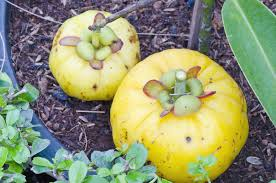 What S In Flower Food The Truth About Garcinia Cambogia