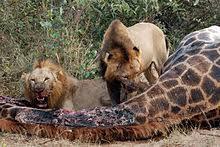 imagenes de leones salvajes gratis panthera leo wikipedia la enciclopedia libre