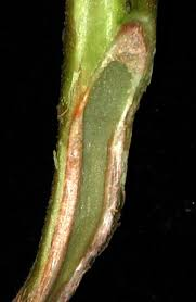 Tomato Plant Wilt Disease - verticillium wilt of tomatoes and potatoes