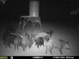 hog hunting lights for feeder moore s hilltop ranch recreational hunting division feral