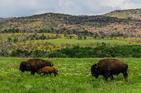 Oklahoma wildlife images Spring in the wichita mountains wildlife refuge in southwest jpg