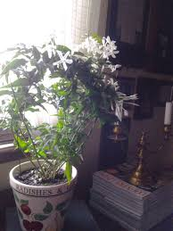 indoor jasmine gardening forum gardenersworld com