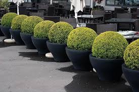 buxus sempervirens in vaso coltivare siepi di bosso siepi coltivare siepi bosso