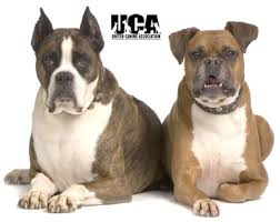 boxer dog with tail boxer breed information and pictures united canine association