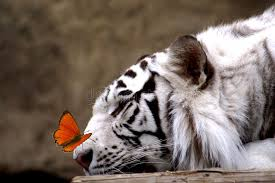 tiger and butterfly stock image image of portrait 2884861