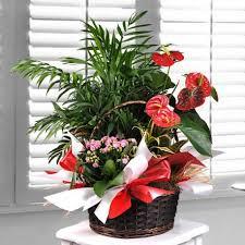 of ornamental plants sanchoflor s l