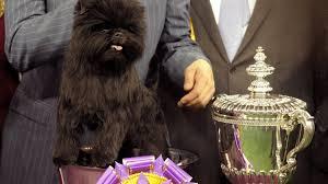 affenpinscher uk breeders westminster dog show banana joe the affenpinscher wins best in
