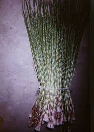 native plants in alberta canadian native sweetgrass running bear totally canadian