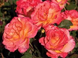 mardi gras roses mardi gras roses plants