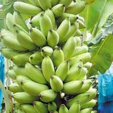 mini banana tree 100 pcs rare exotic dwarf banana tree seeds mini bonsai banana