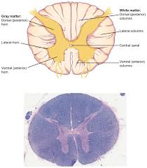 Anterior Association Area Ou Human Physiology The Central Nervous System