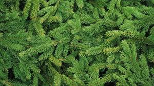green pine tree leaves free image peakpx