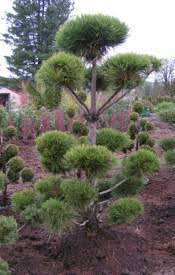 pine austrian sculpture pom pom ymker greenhouse and landscaping