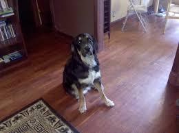 bluetick coonhound reviews saint dane information pictures reviews and q u0026a greatdogsite com
