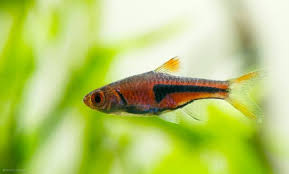 Aquascape Fish Common Aquascaping Fish Appreciation I