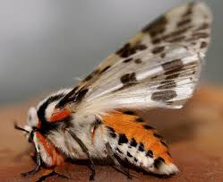 black and white tiger moth