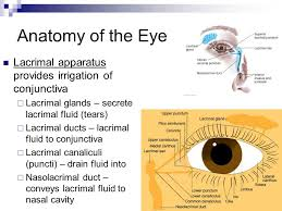 Eye Ducts Anatomy Assessment Of Eyes And Ears Ppt Video Online Download