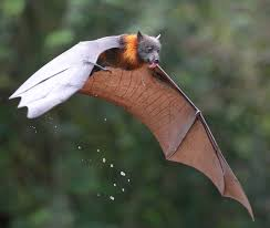 thirsty by michael cleary grey headed flying fox licking water