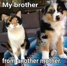 australian shepherd meme australian shepherd smart working dog calico cats australian