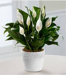 peace lilly calming grace peace plant in collegeville pa risher horn