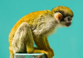 file squirrel monkey fuji jpg wikimedia commons