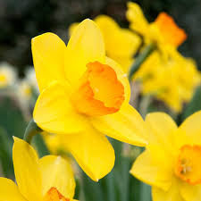 daffodil bulbs colorblends wholesale flower bulbs from holland