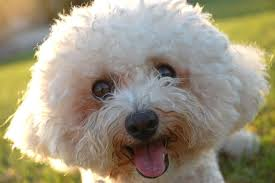 bichon frise long hair 16 dog breeds that don u0027t shed mnn mother nature network