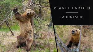 pole dancing bears planet earth ii mountains preview bbc one