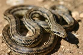 top 15 non venomous snakes interesting facts that you must know