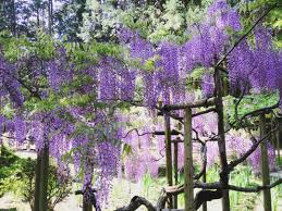 just like a flower curtain famous wisteria viewing places in