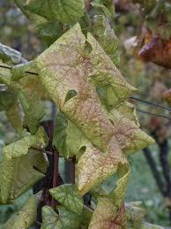 Plant Diseases Wikipedia - flavescence dorée wikipedia